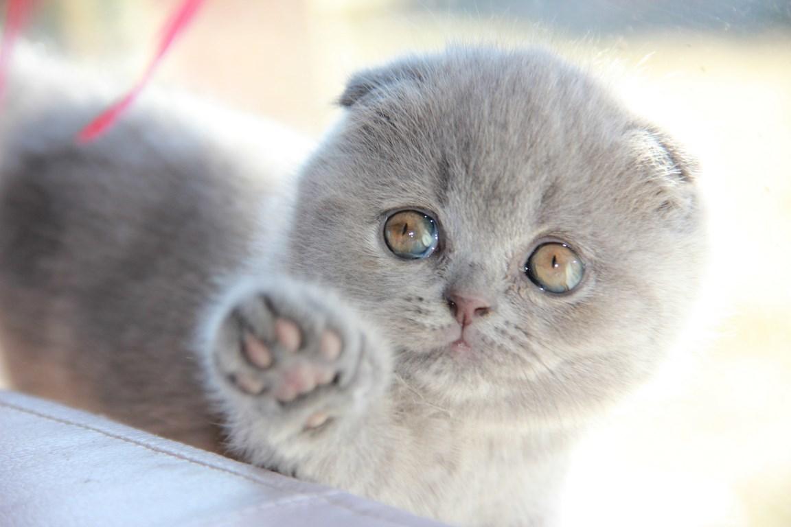 Шотландский вислоухий лиловый кот