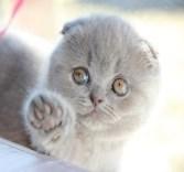 Шотландский голубой котенок