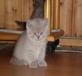 Британский лиловый котенок